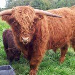 Highalnd Cattle