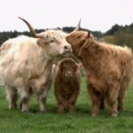 Highland Cattle family